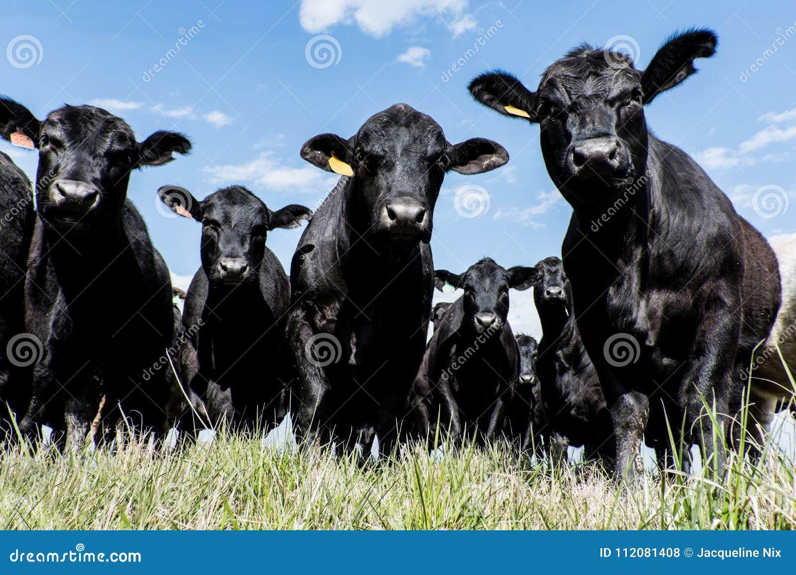 Svart Angus flock - låg vinkel