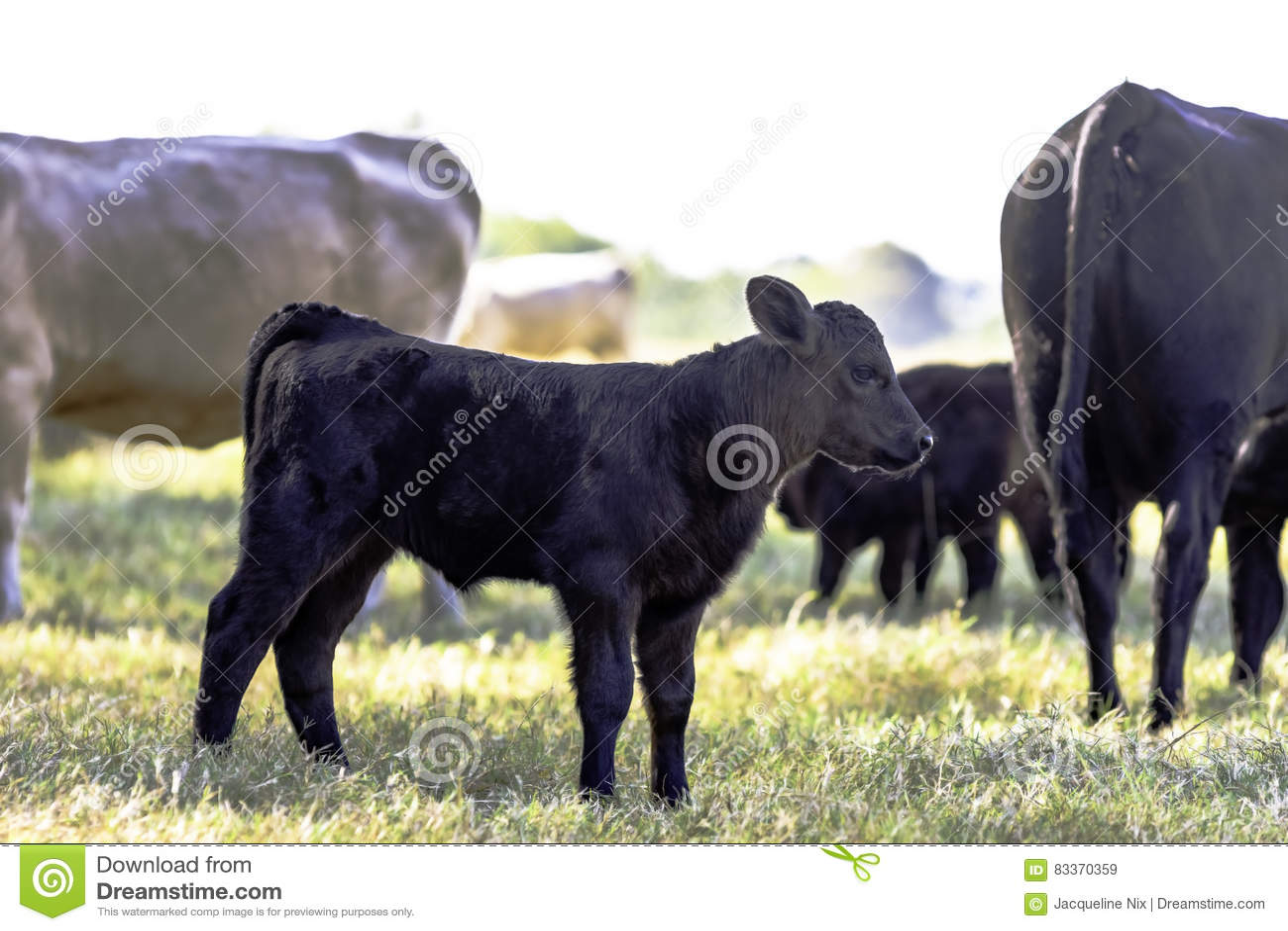 Svart Angus korsad kalv i flock