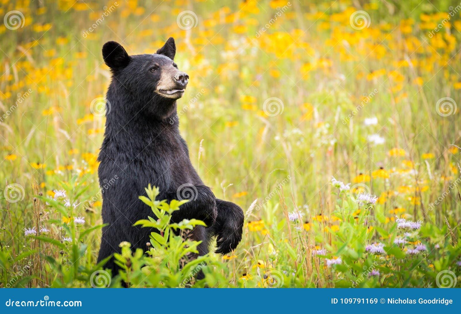 Svart björn för Cades liten vik