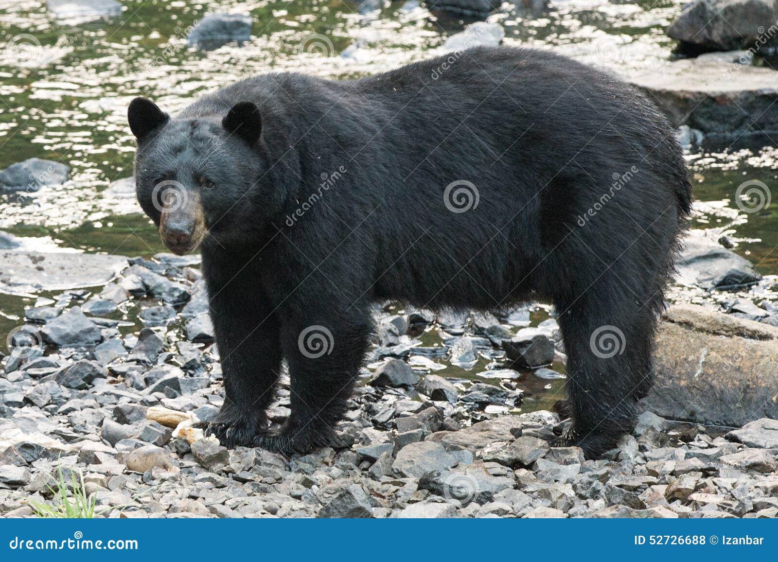 Svart björn, medan korsa floden