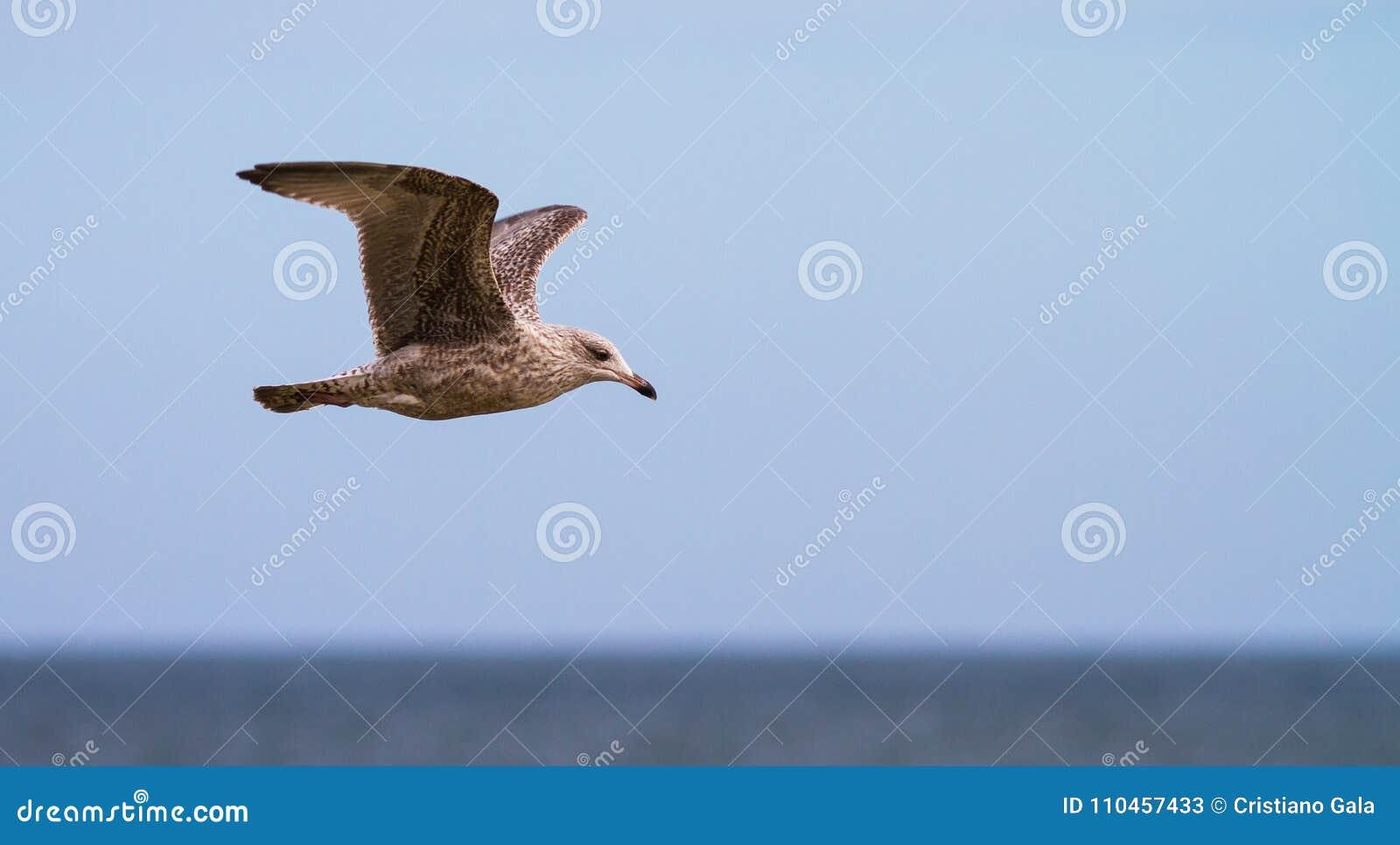 Svart dragen tillbaka fiskmås som fliying över havet