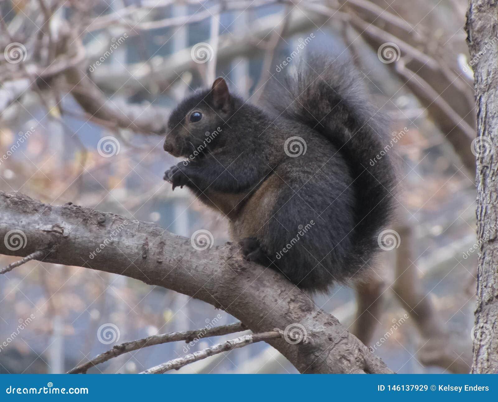 Svart ekorre som sitter på trädfilial