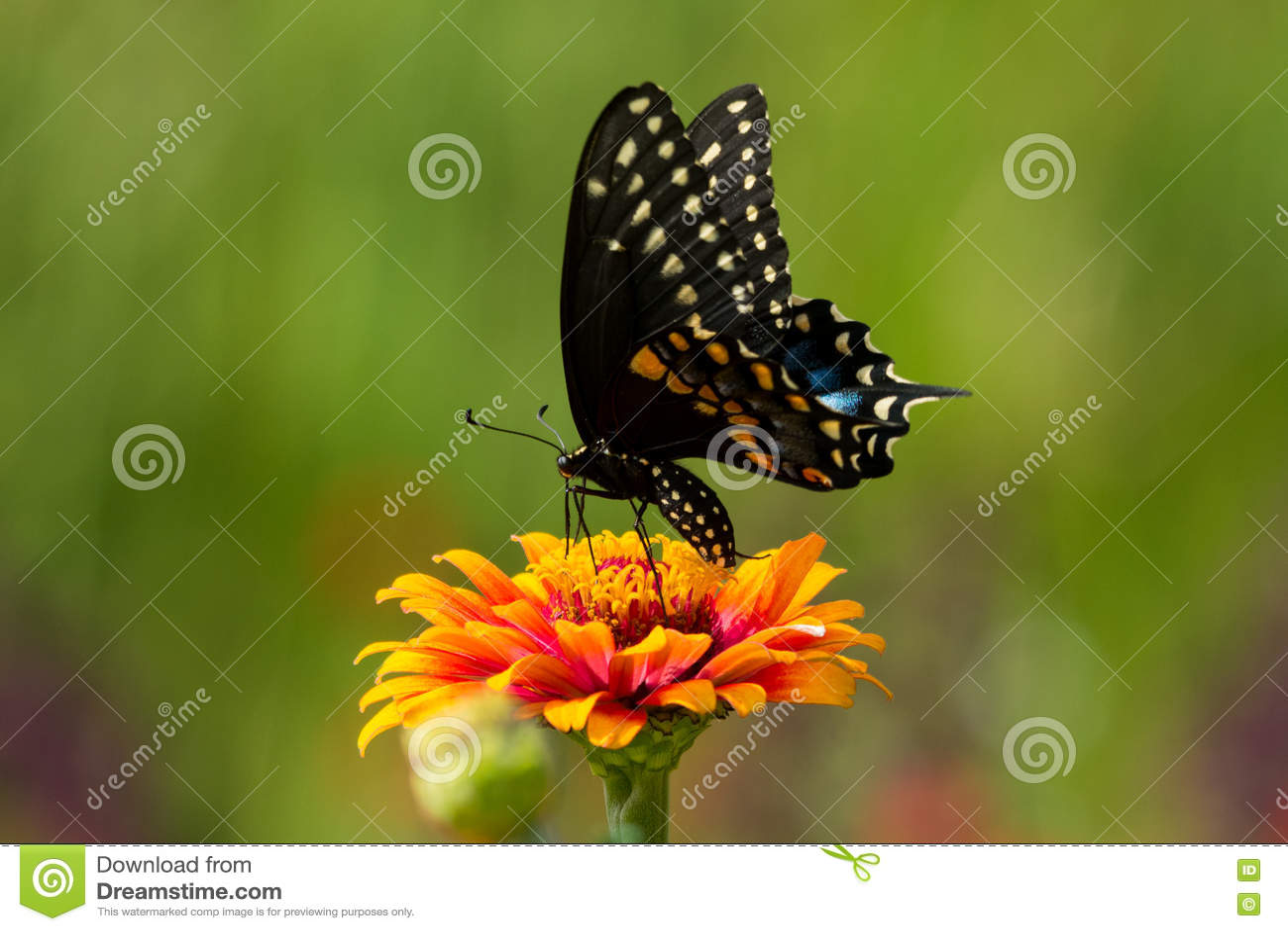 Svart fjärilsswallowtail