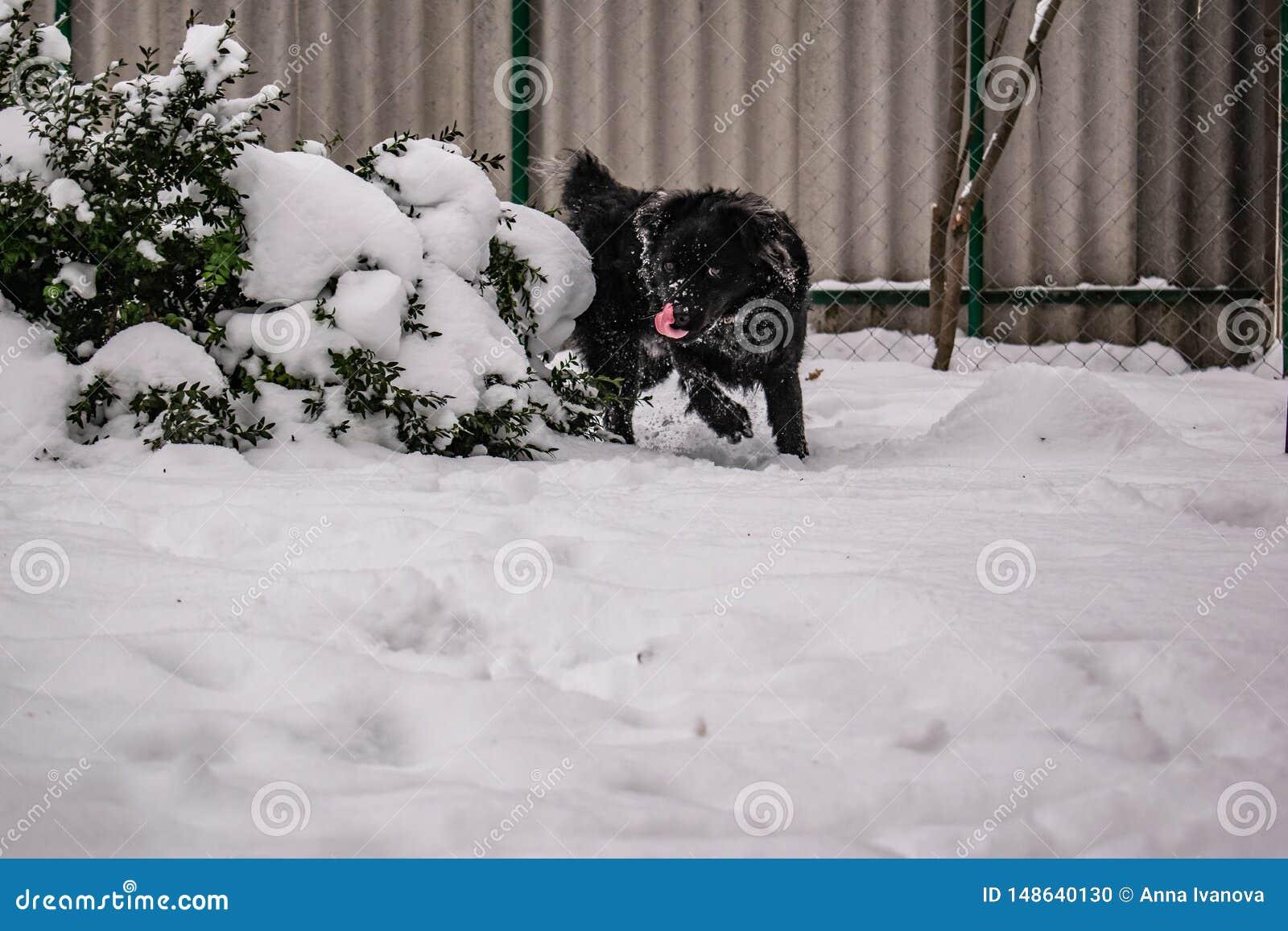 Svart g?rdhund, med lurvigt h?r, apport?r Vinter, frostigt v?der och mycket vit sn?