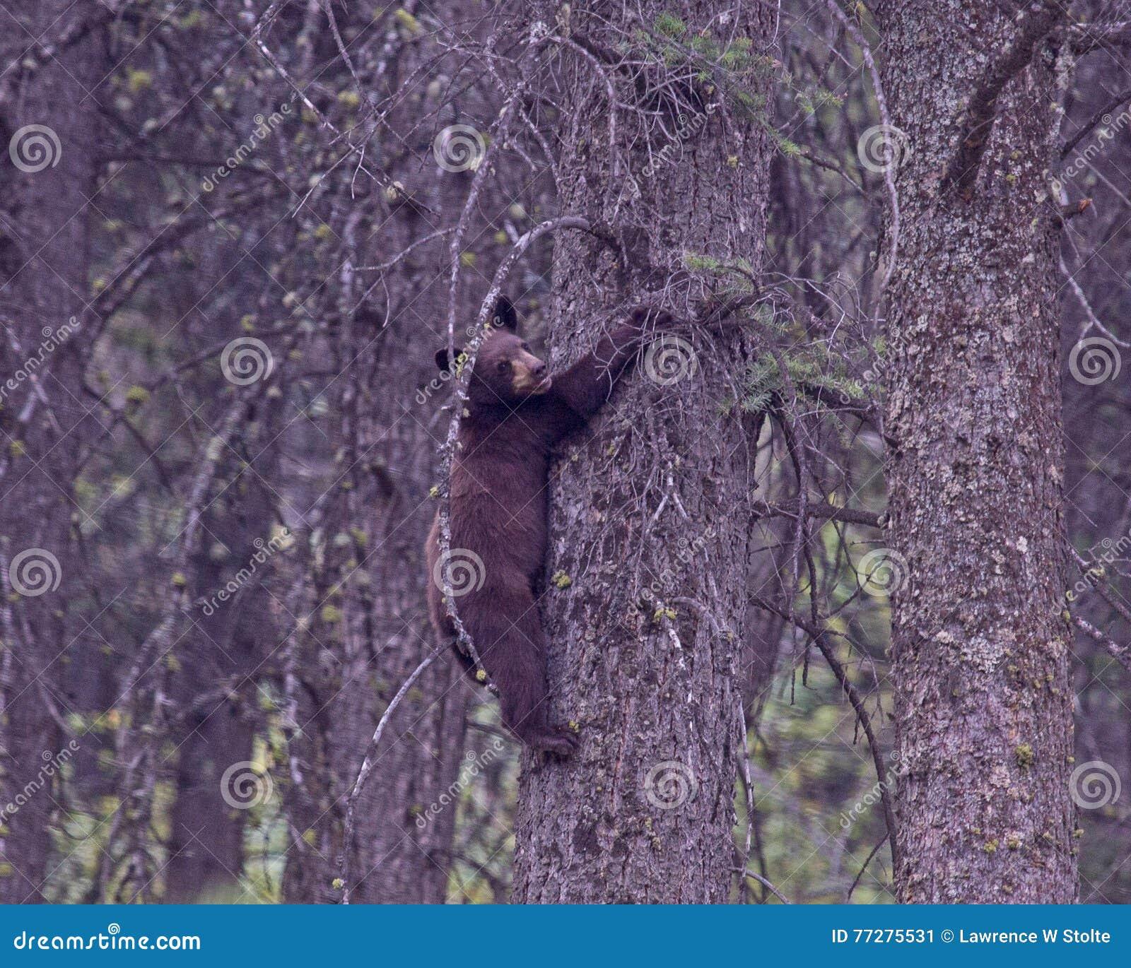 Svart gröngöling för björn