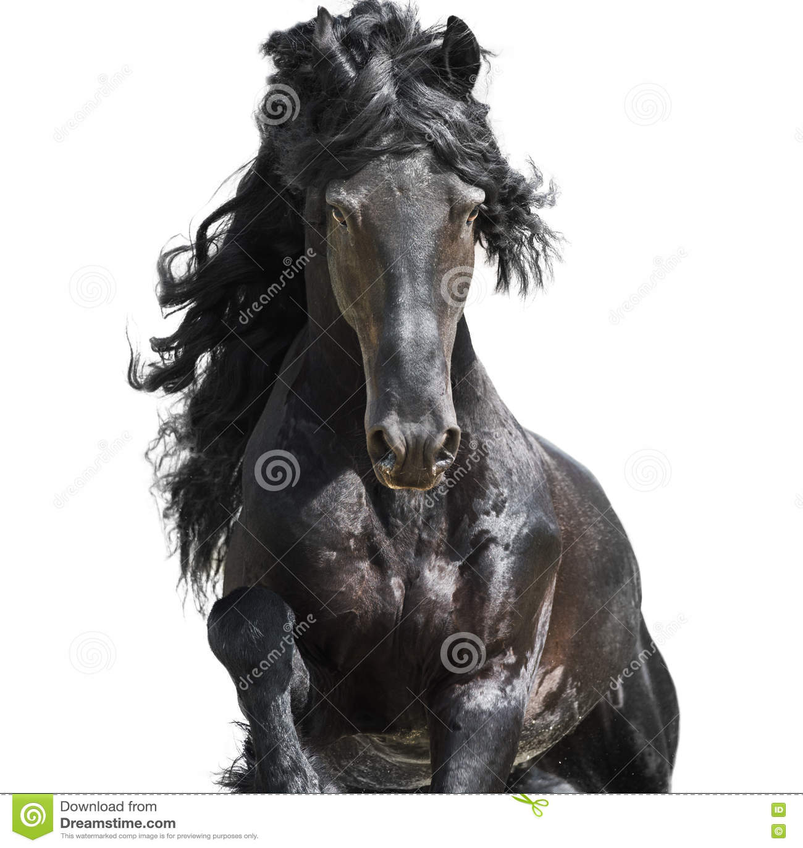 Svart häst för Friesian som isoleras på viten