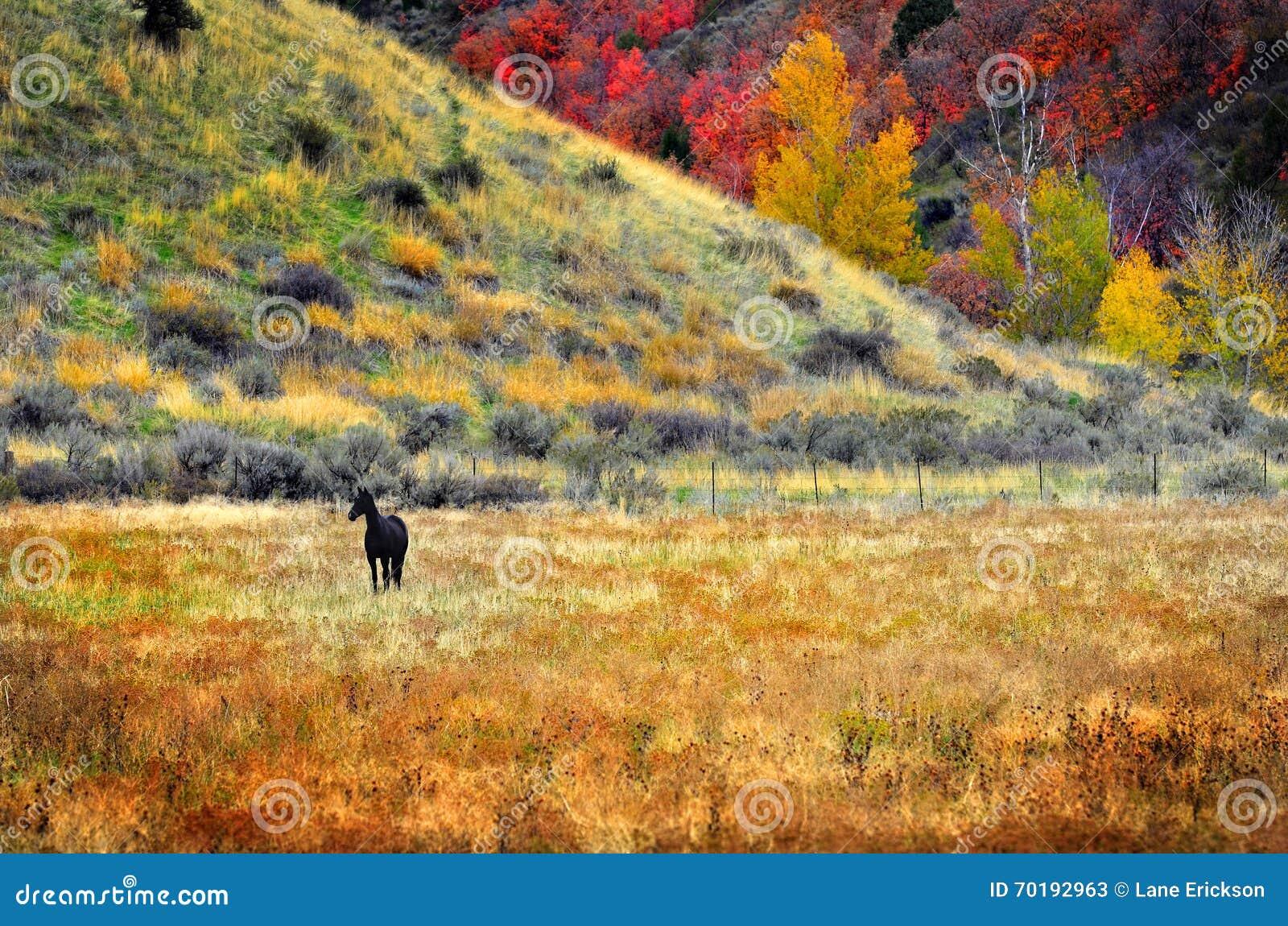 Svart häst i fältäng i nedgång