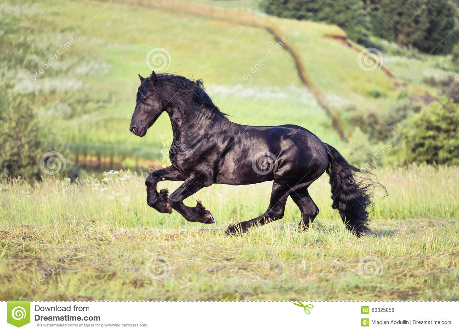 Svart hästgallopin i fältet