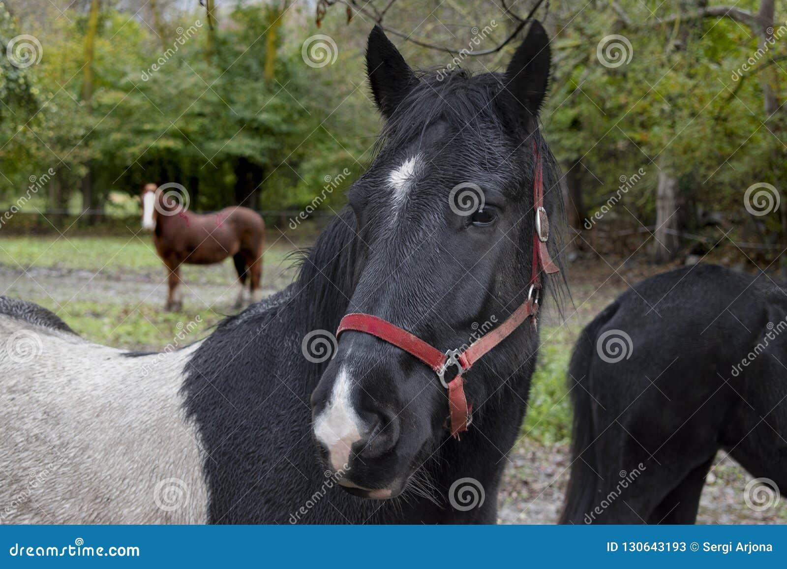 Svart häststående