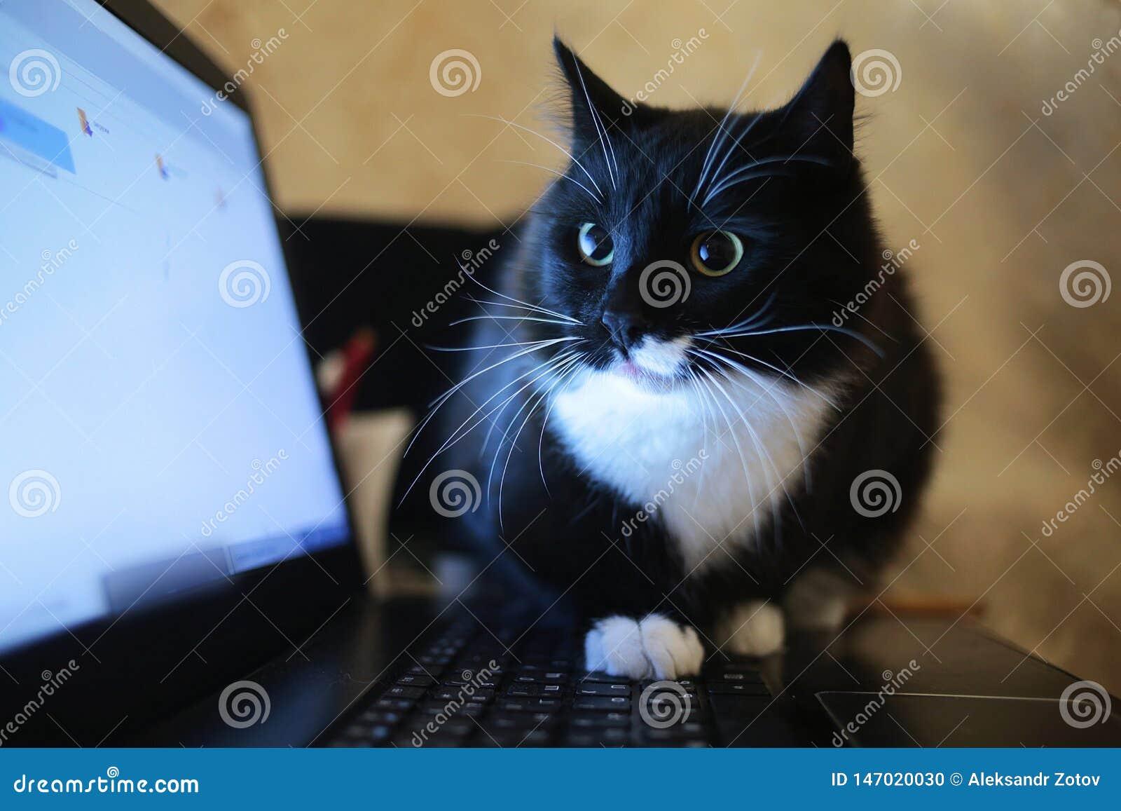 Svart katt som sitter p? en b?rbar dator i rummet Katten ser kameran