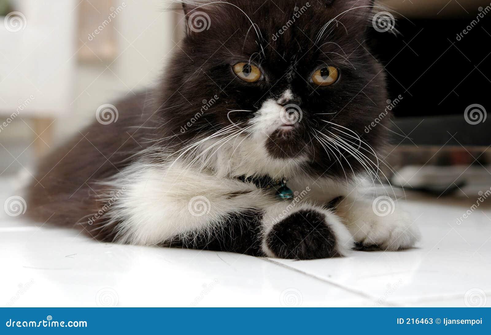 Svart kattwhite