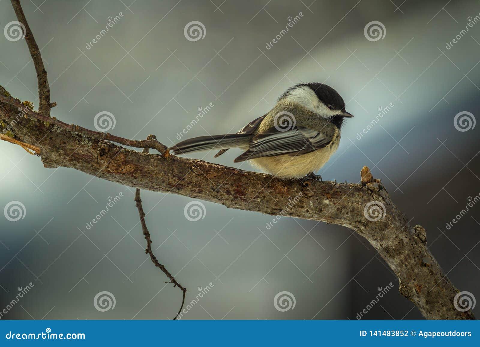 Svart-korkad chickadee för vinter som är klar att ta flyg