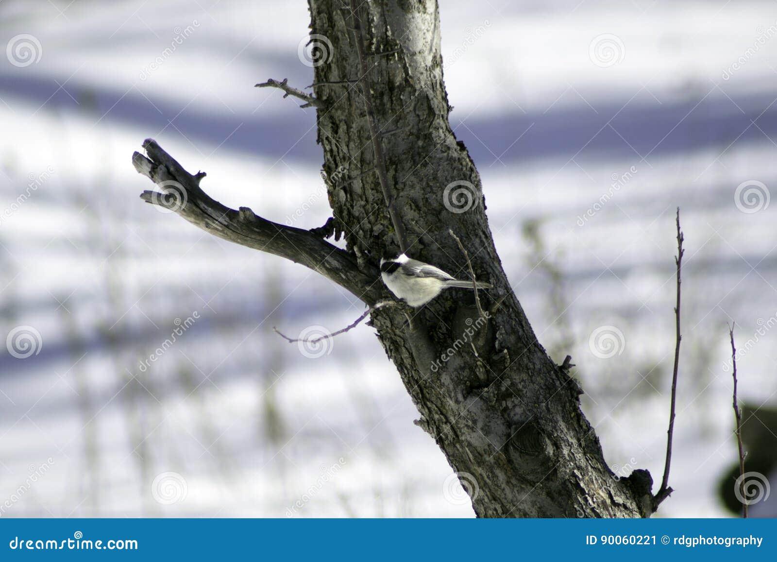 Svart korkad Chickadee på det Apple trädet
