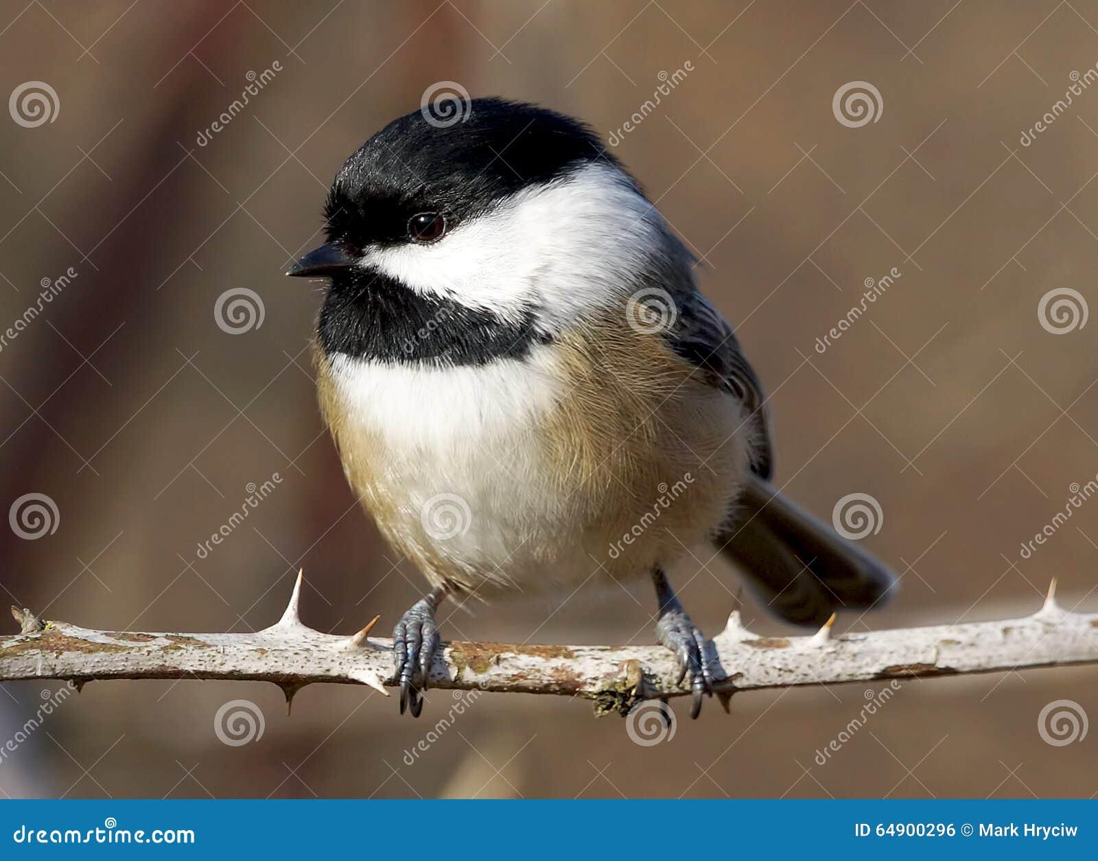 Svart korkad Chickadee - Parusatricapillus