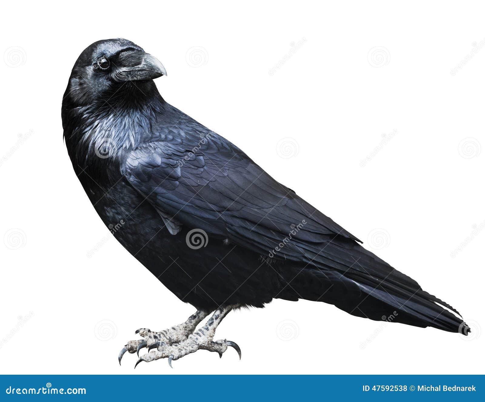 Svart korpsvart Fågel som isoleras på vit