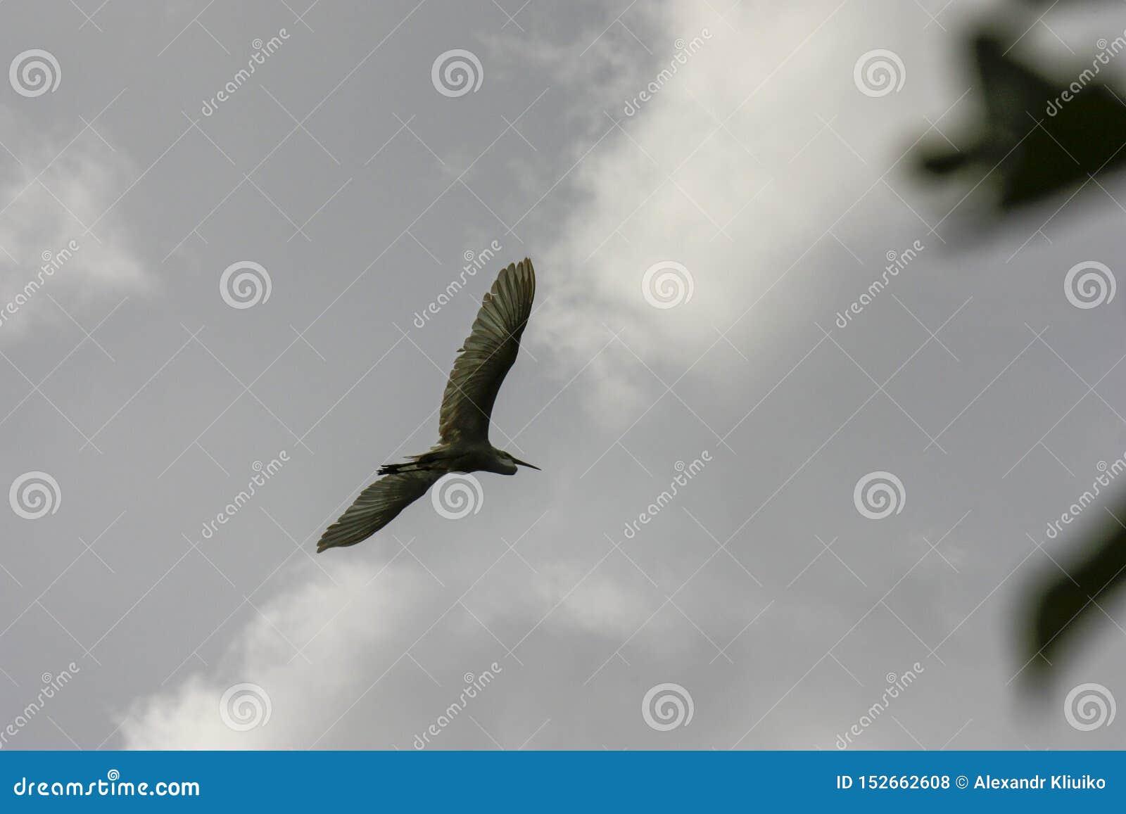 Svart krönad natthäger i flykten under en grå Nycticoraxnycticorax för molnig himmel
