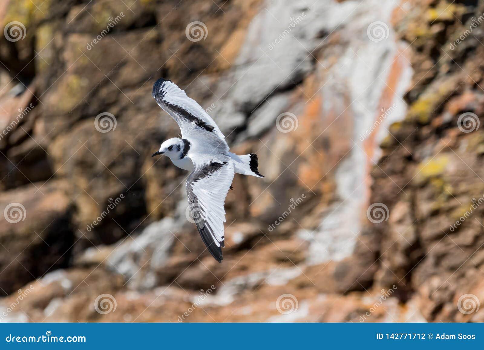 Svart-lagd benen på ryggen tretåig måsRissatridactyla som över flyger
