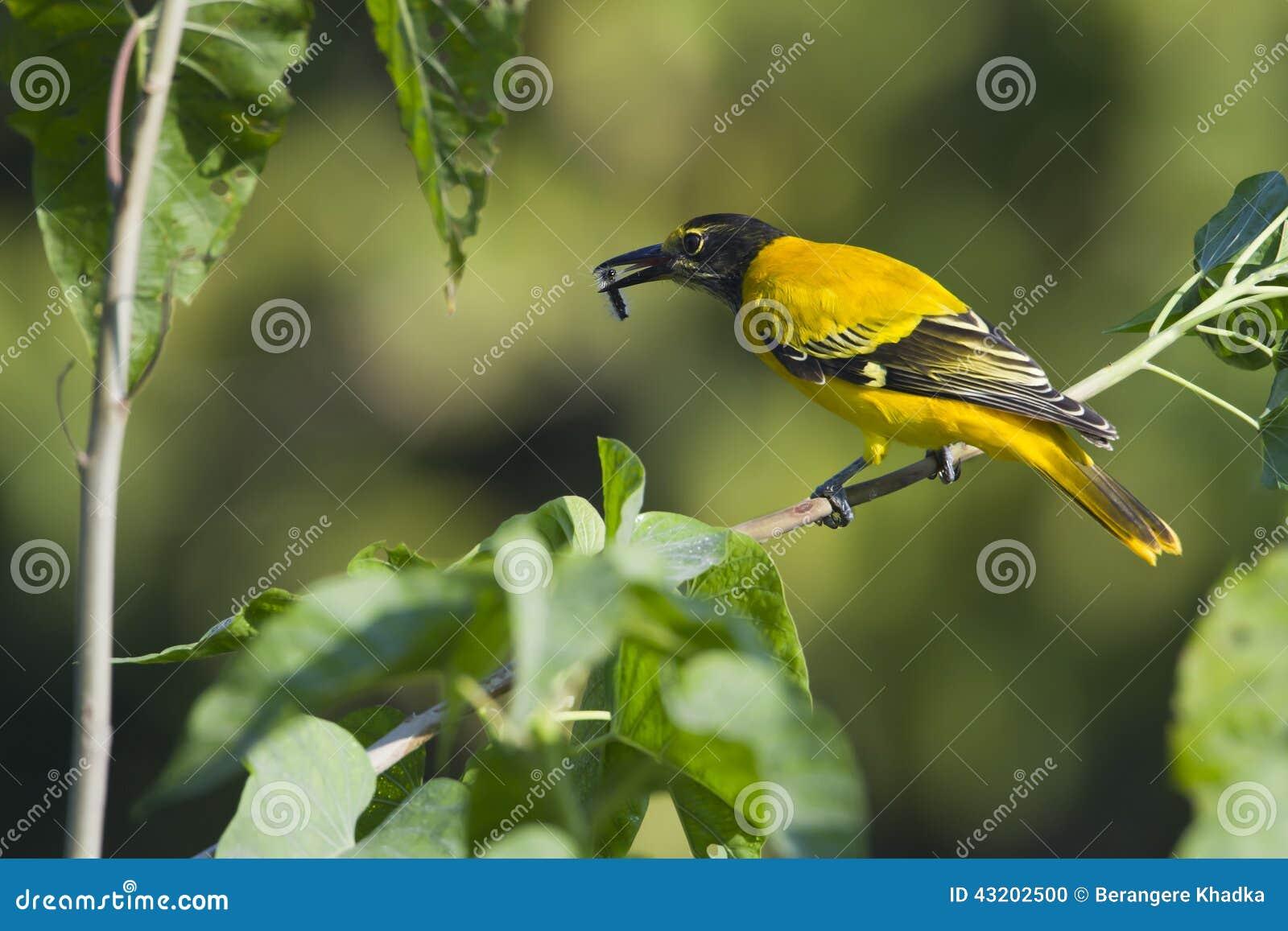 Download Svart-med Huva äta För Oriole Som är Carterpillar I Nepal Arkivfoto - Bild av green, nepal: 43202500