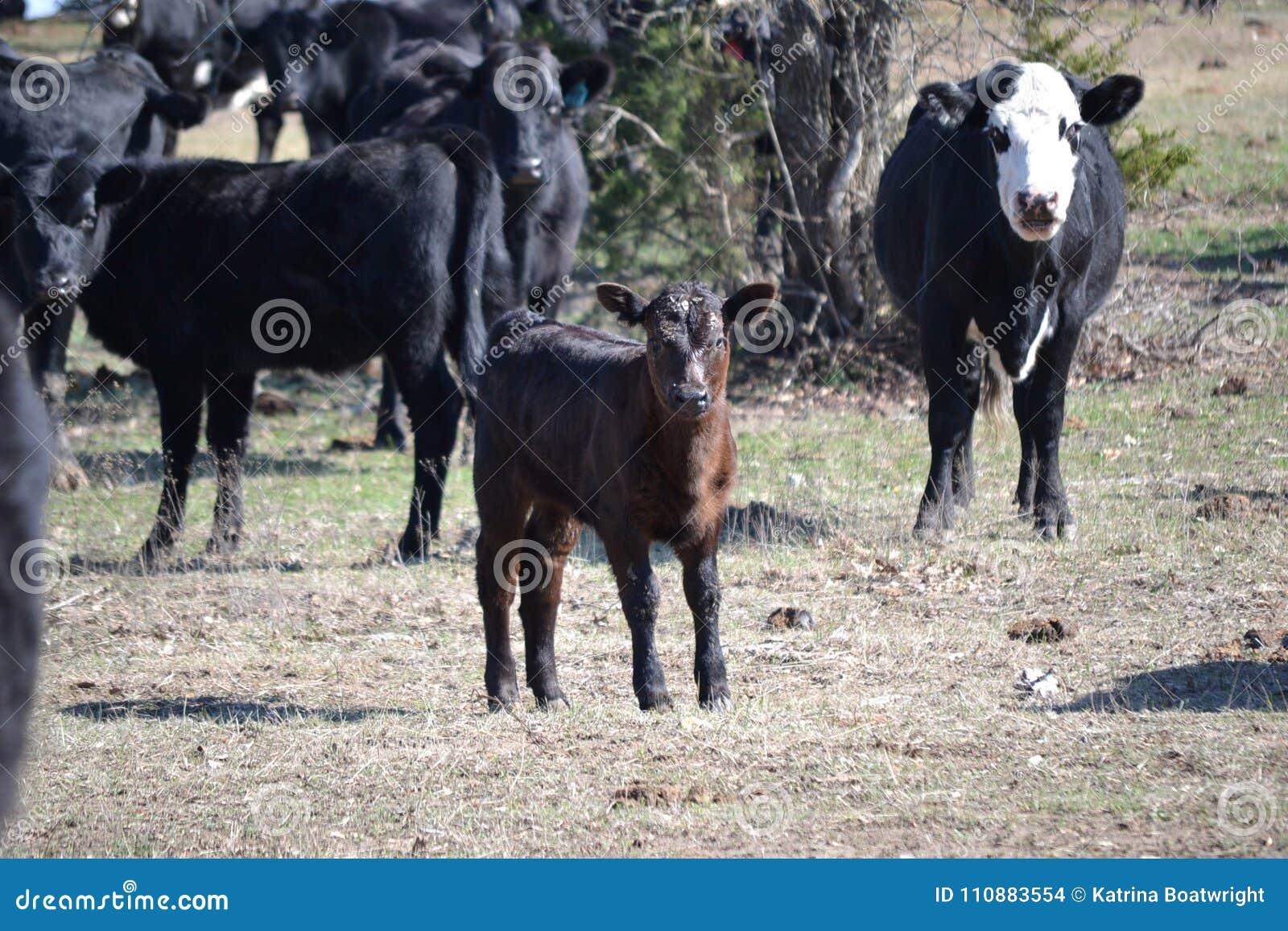 Svart nötköttkalv i beta