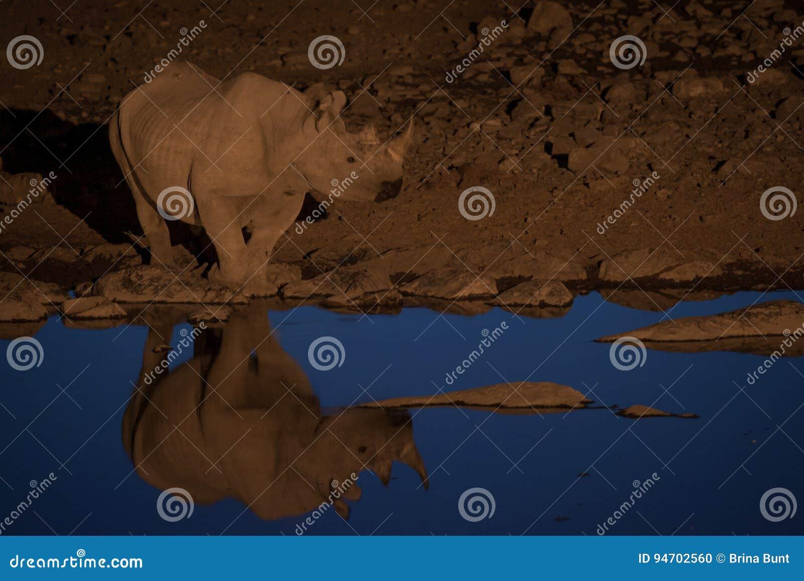 Svart noshörning på det bevattna hålet, Etosha nationalpark, Namibia