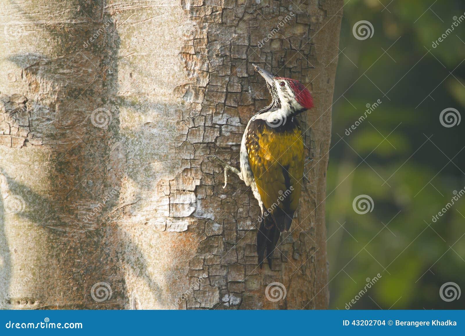 Download Svart-rumpedflamebackfågel I Nepal Arkivfoto - Bild av wild, full: 43202704