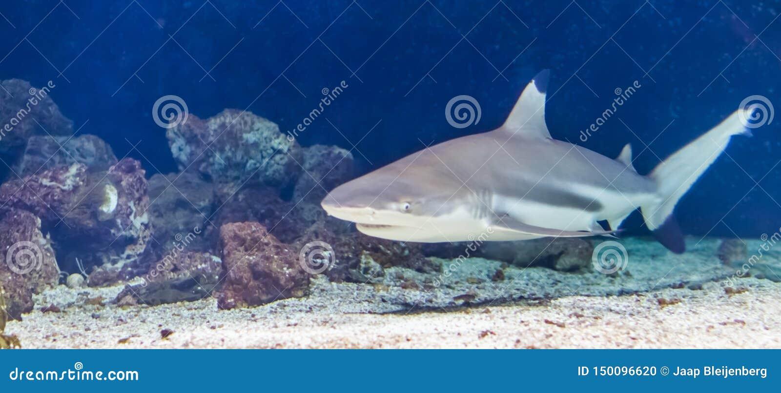 Svart simning för spetsrevhaj under vatten som är tropiskt nära hotad fiskspecie från indiern och Stilla havet