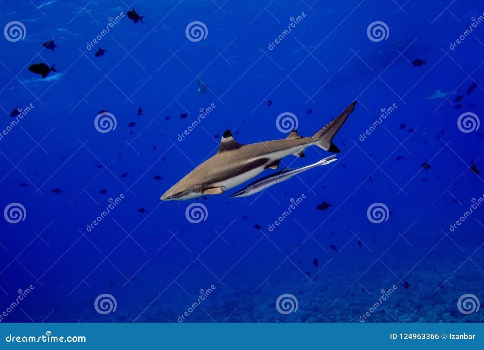 Svart spetshaj undervattens- Polynesien