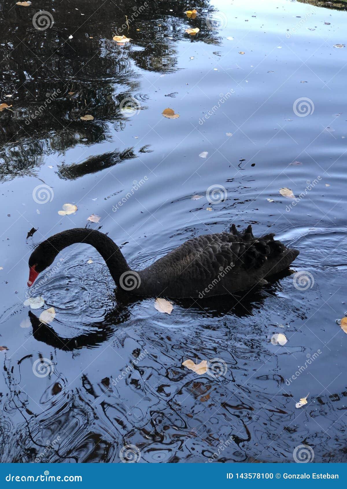 Svart svan som ser spegeln