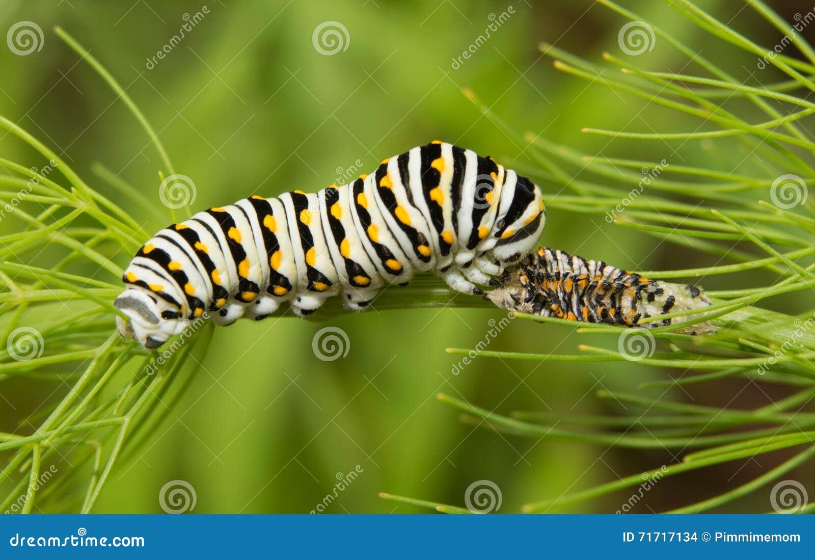 Svart Swallowtail fjärilslarv