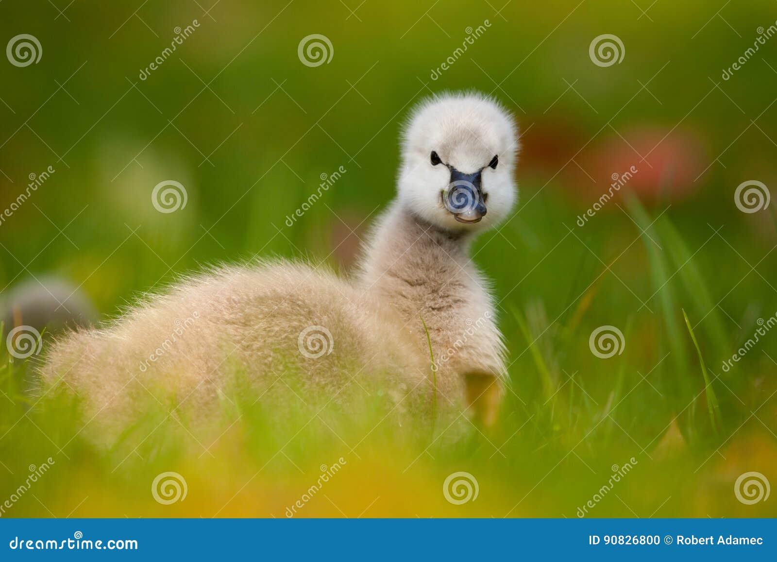 Svart swan