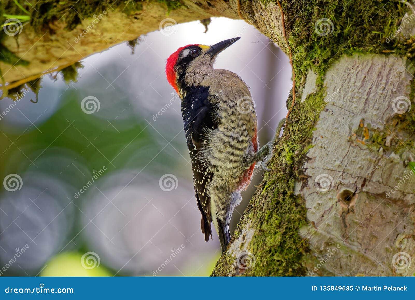 Svart-vara fräck mot hackspett - fågel för avel för Melanerpespucheraniinvånare från sydöstliga Mexico söder till västra Ecuador