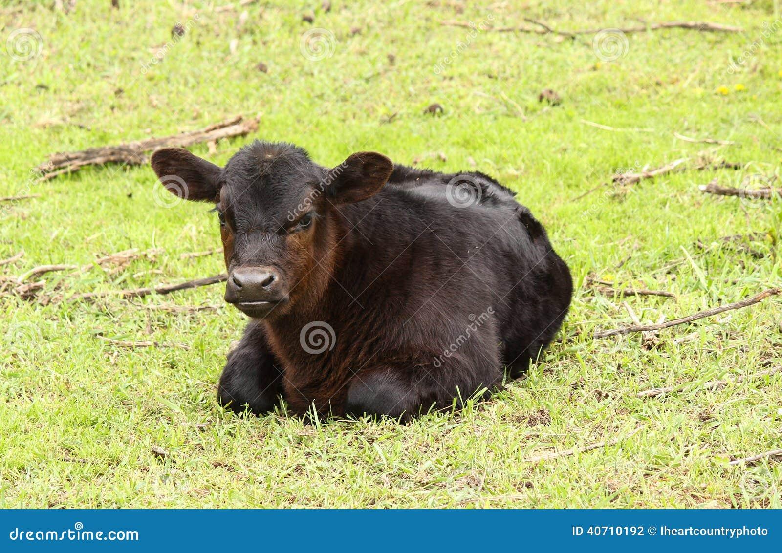 Svarta Angus Bull Calf