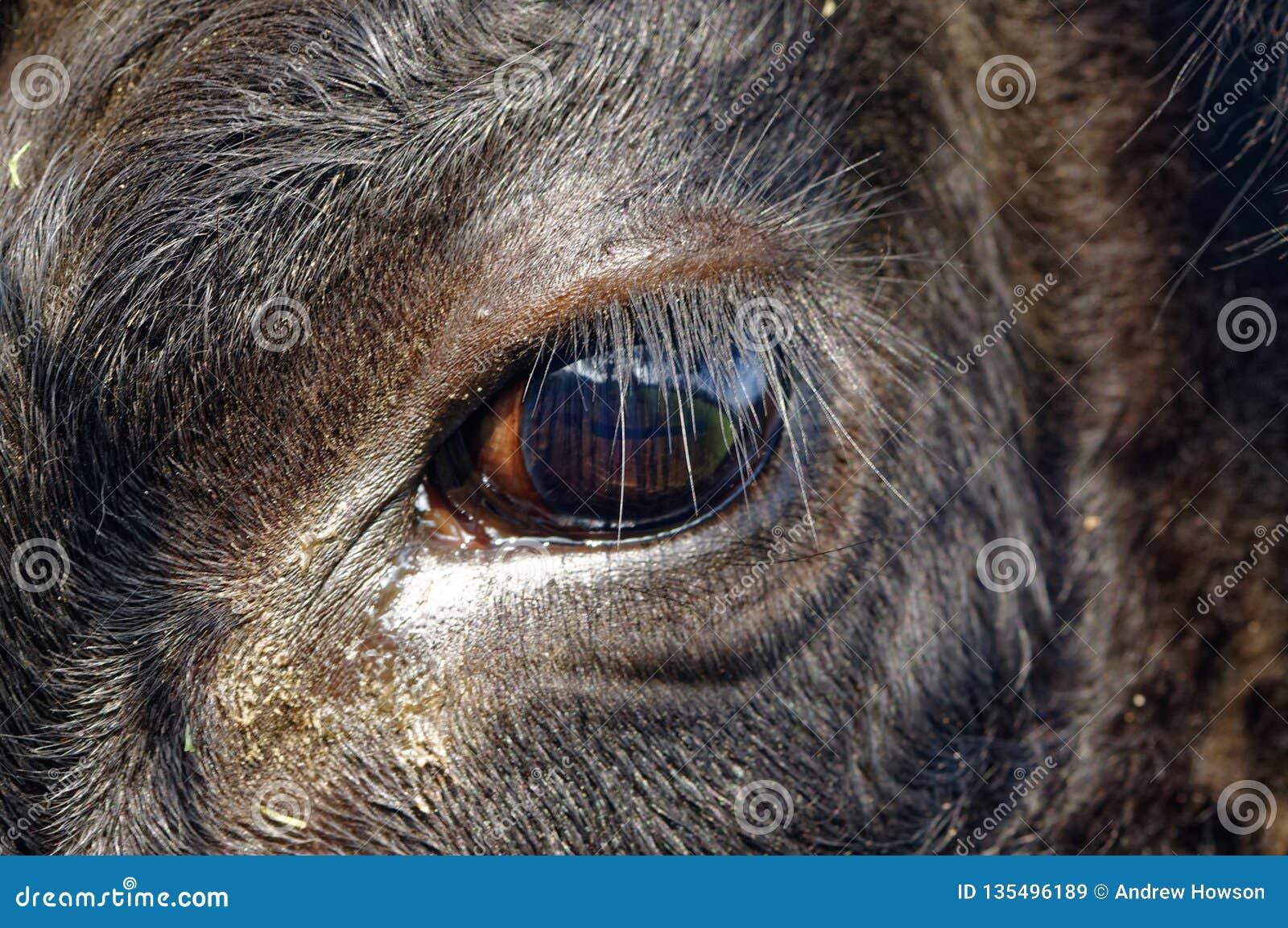 Svarta Angus Cow, slut upp på öga reflekterande stående