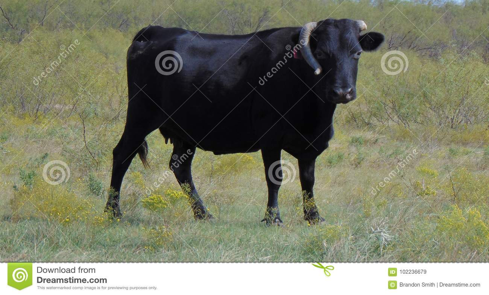 Svarta Angus med det brutna hornet