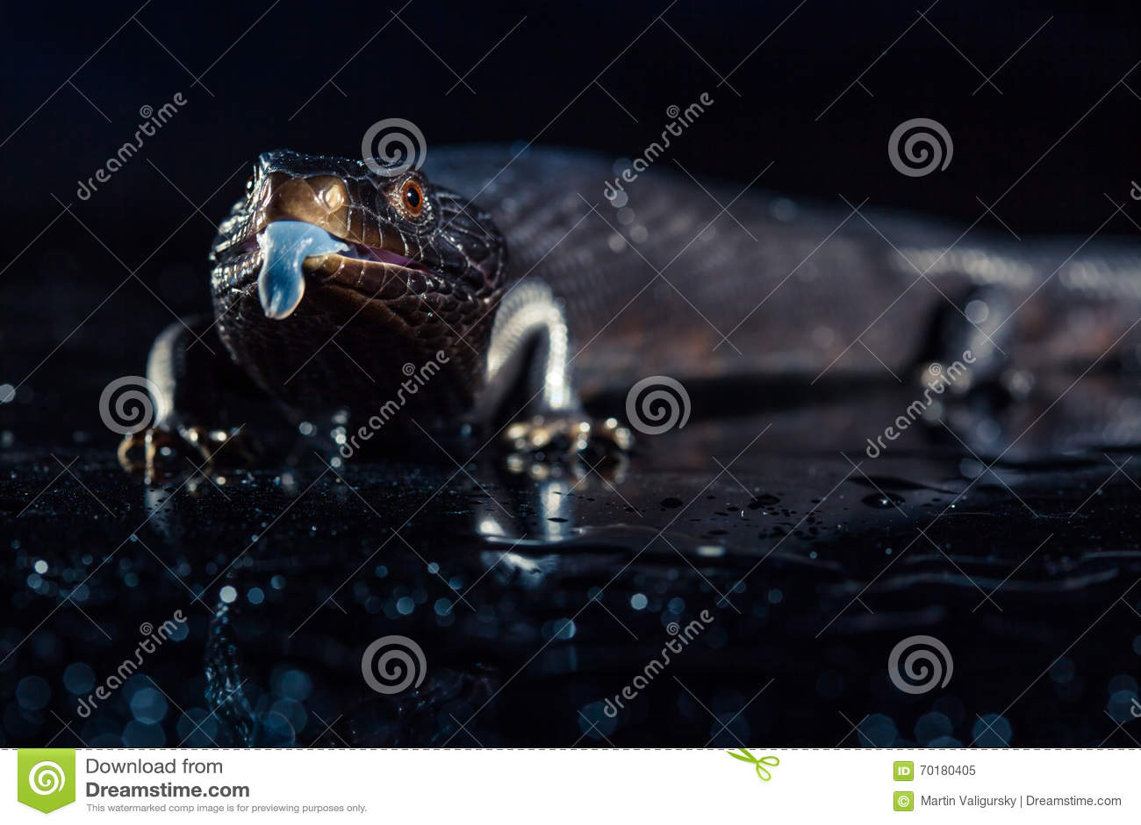 Svarta blått spontade ödlan i mörk skinande environement