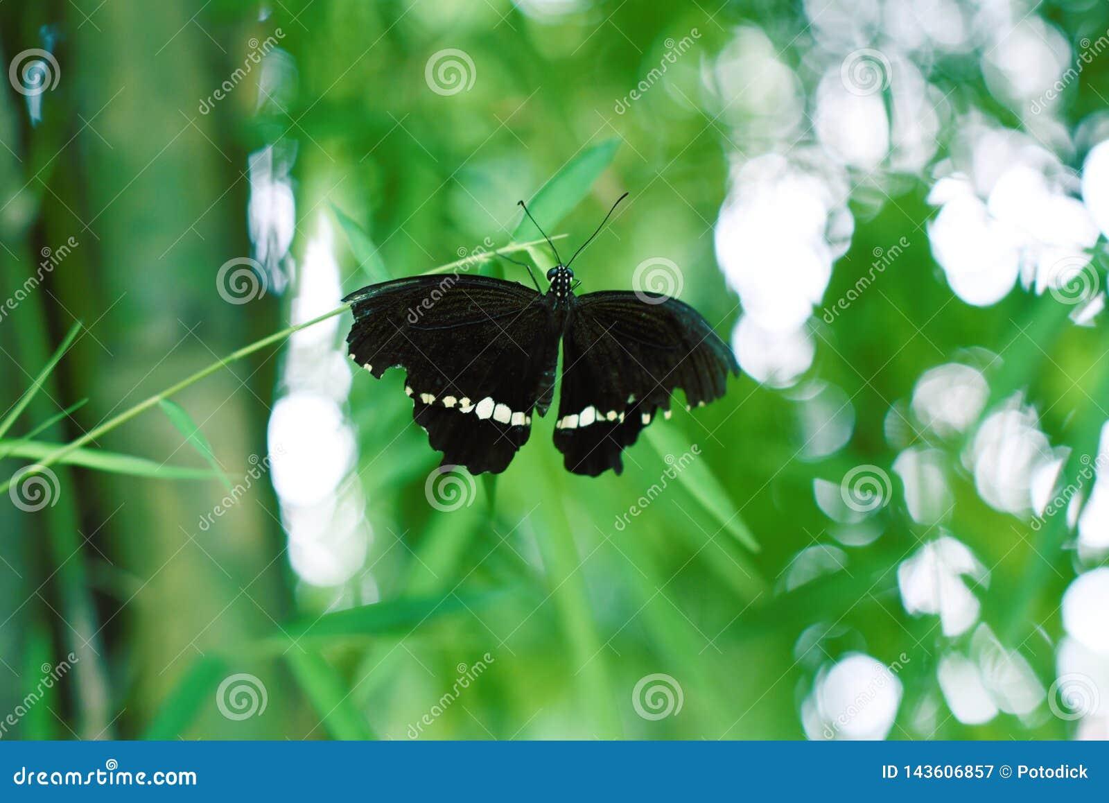 Svarta fjärilar med sträckta svarta vingar