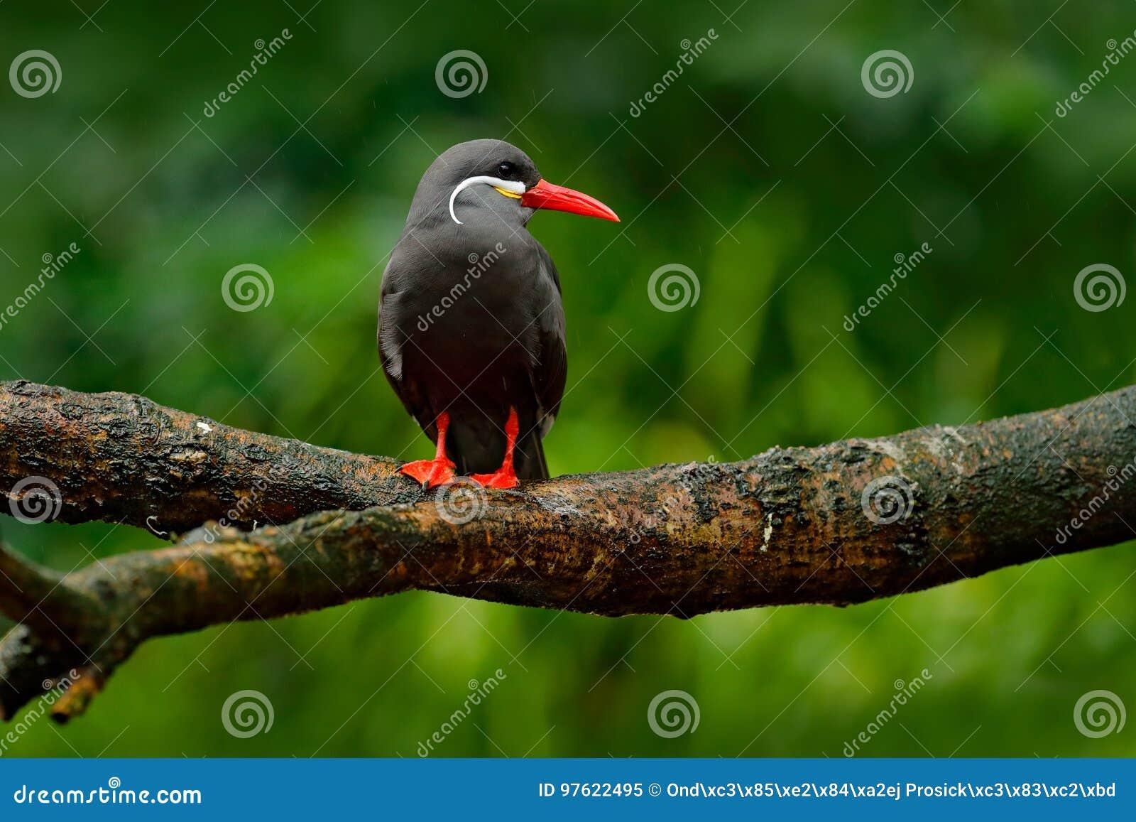 Svarta Inca Tern, röd räkning, Peru Inca Tern Larosterna inca, fågel på trädfilialen Tärna från peruansk kustfågel i naturen