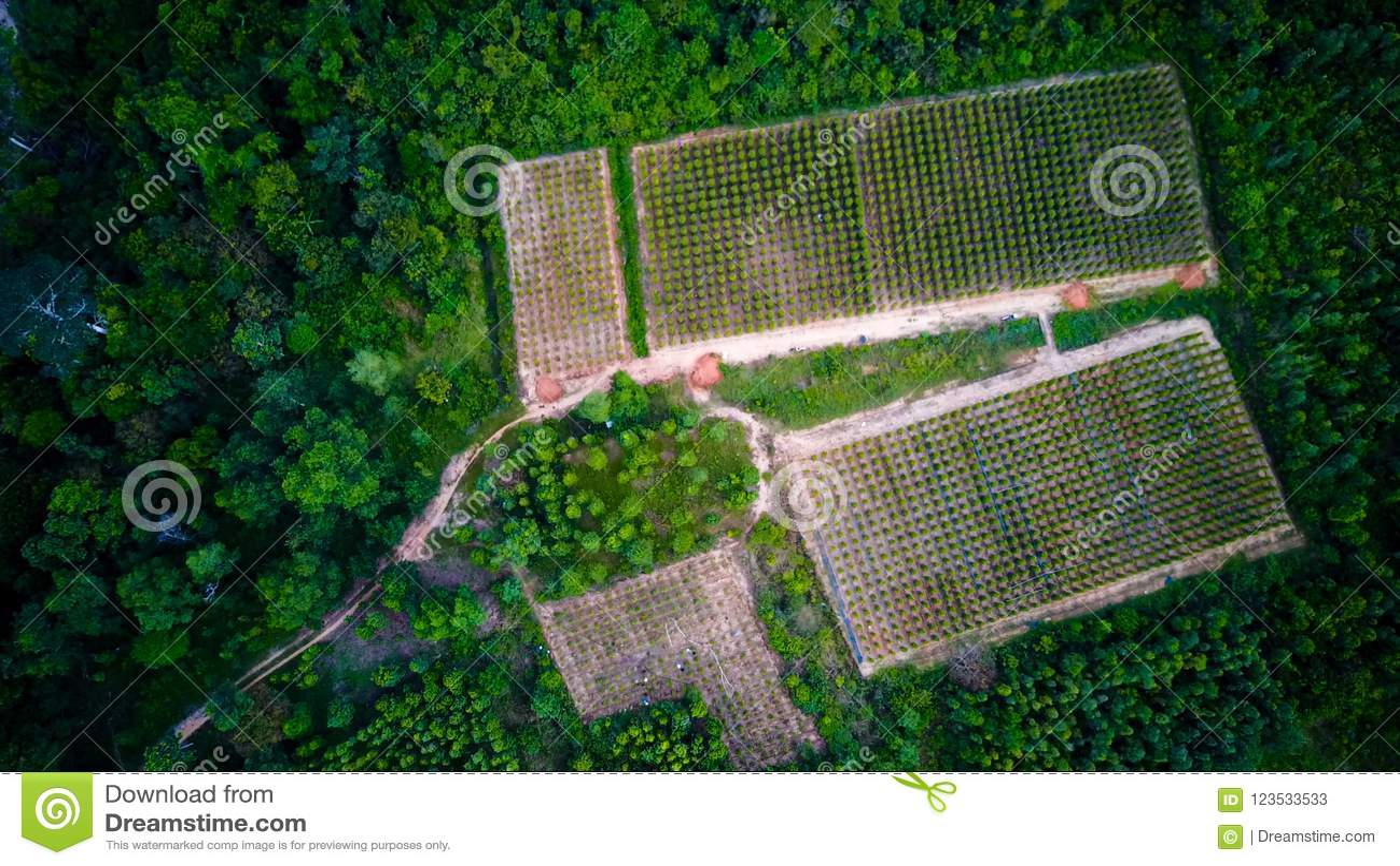 Svartpeppar planterar slågna in träd Phu Quoc, Vietnam