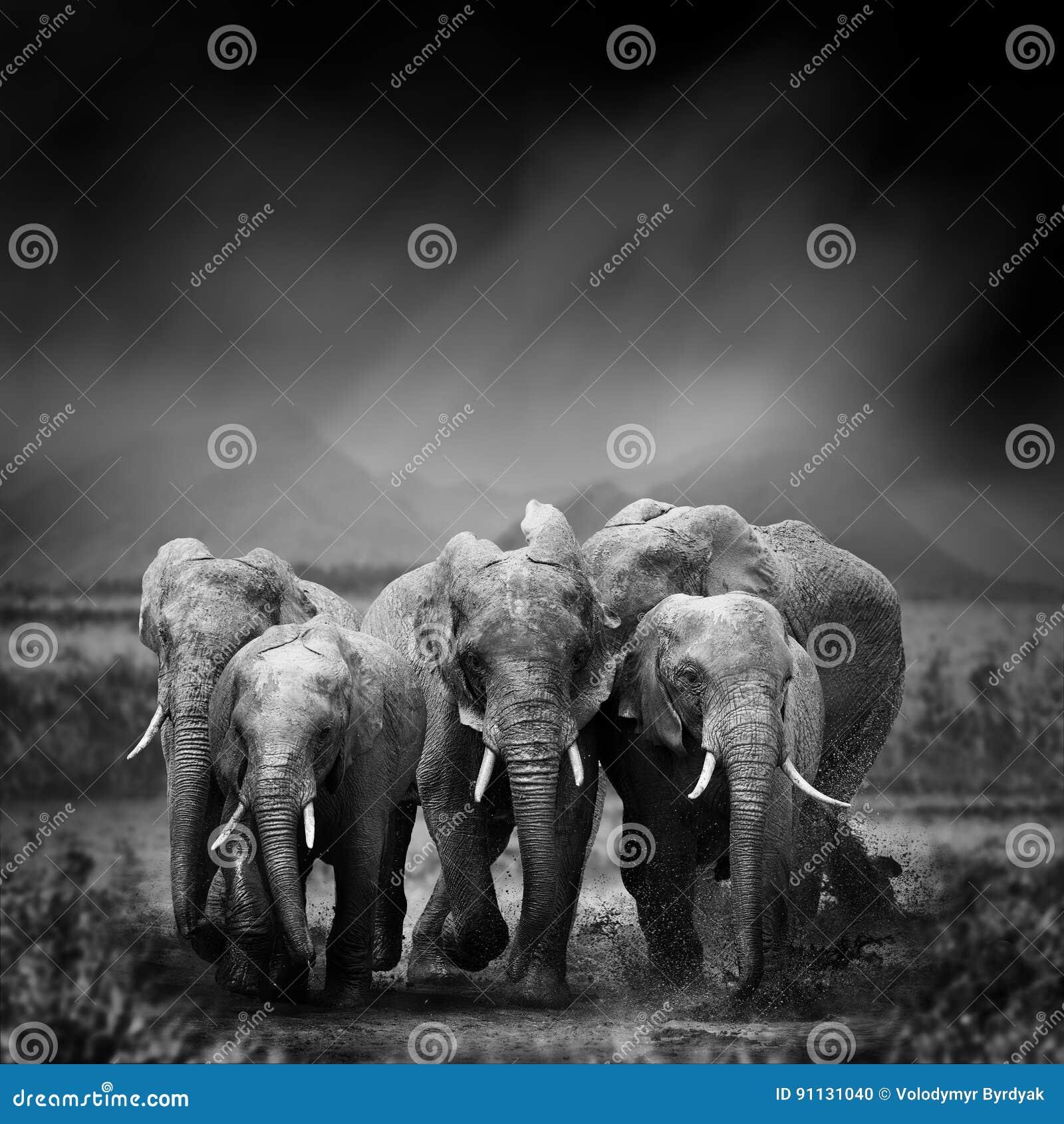 Svartvit bild av en elefant