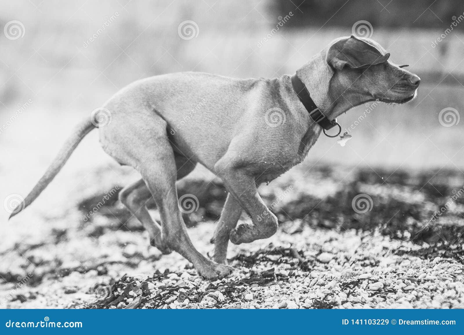 Svartvit bild av en hundspring