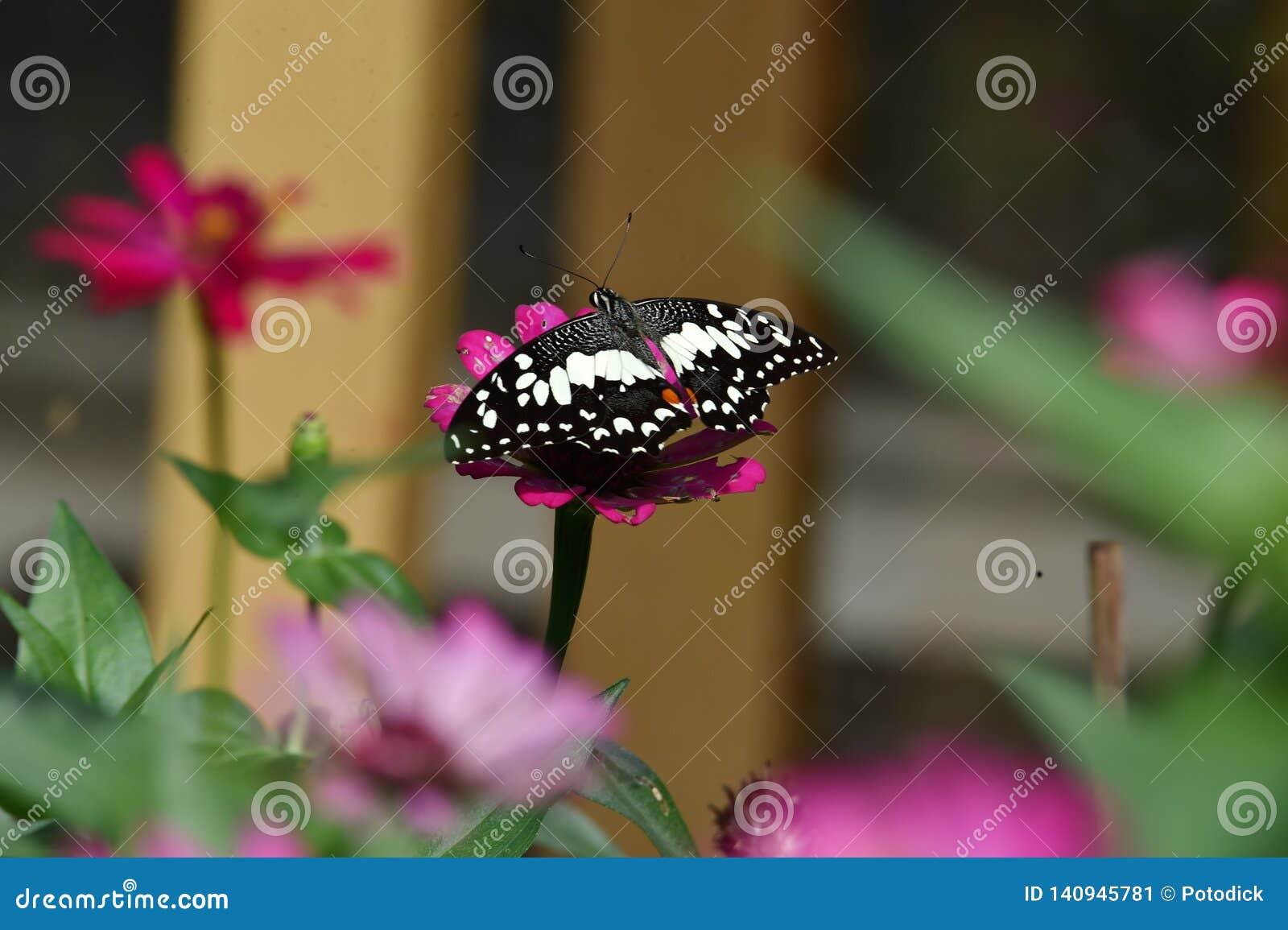 Svartvit fjäril som sätta sig på blommor