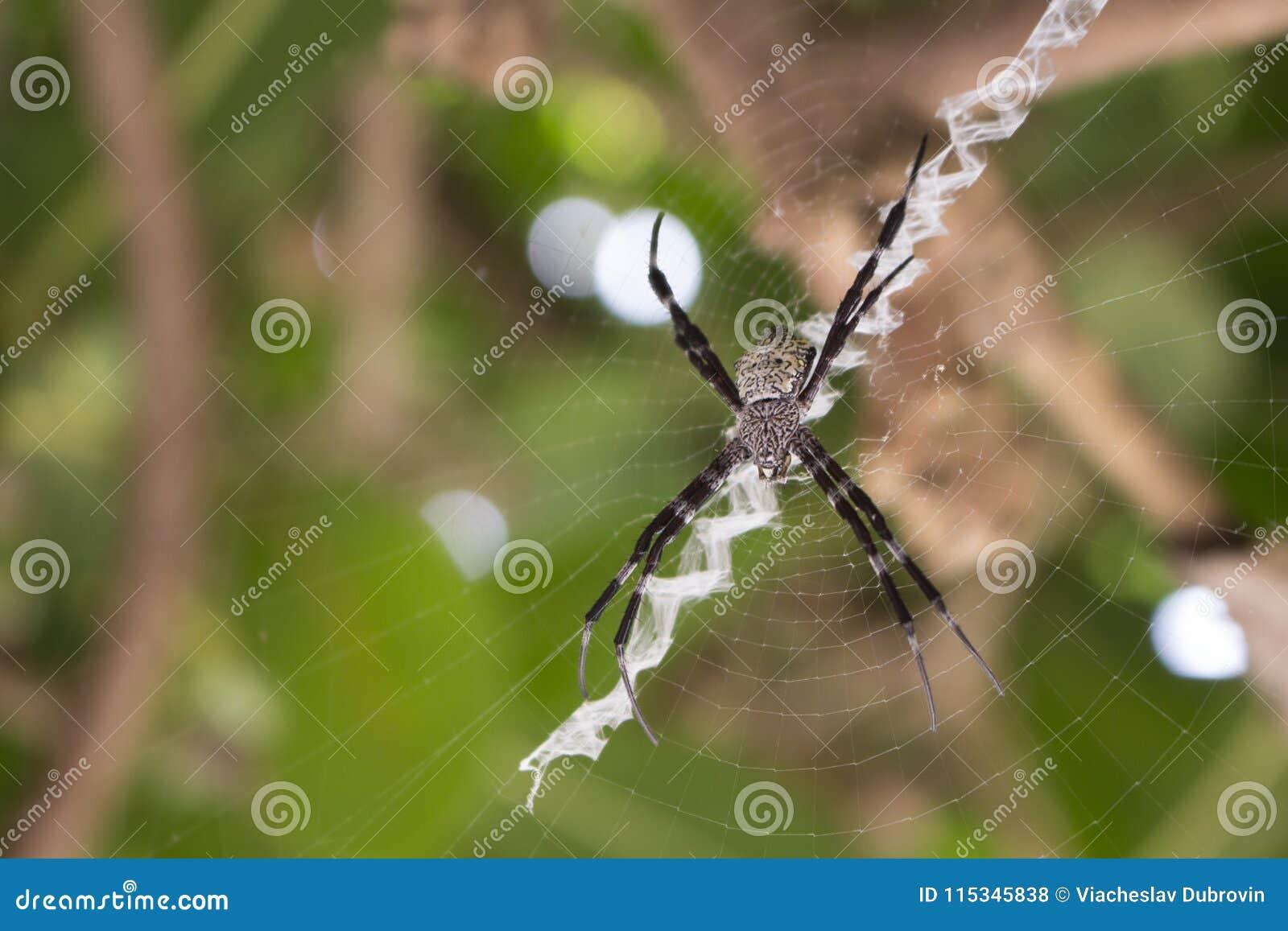 Svartvit spindel på det netto makrofotoet Stor spindel i tropisk skog