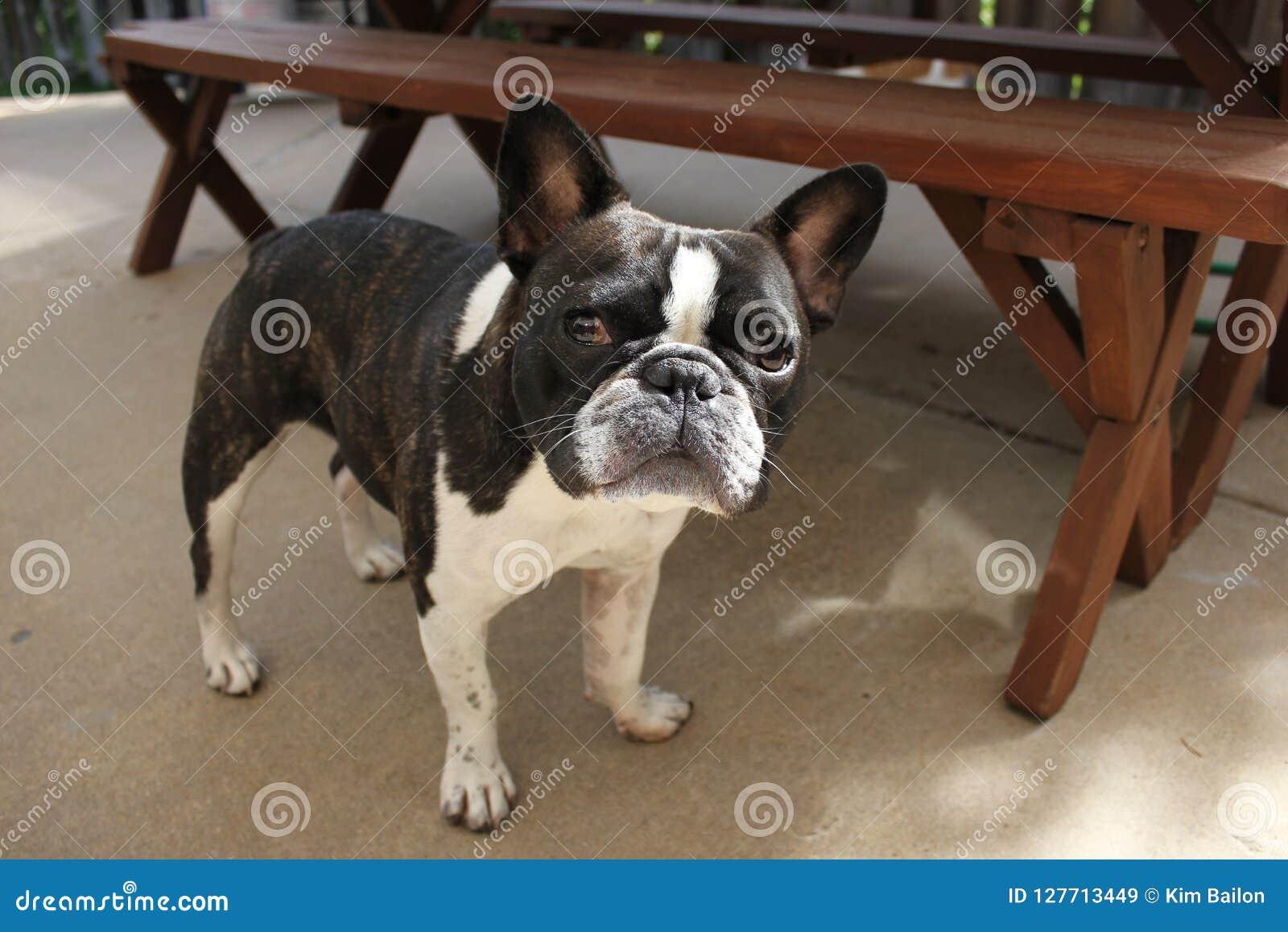 Svartvit strimmig fransk bulldogg