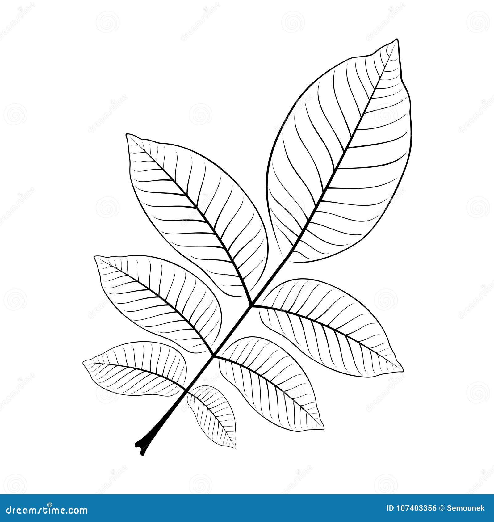 Svartvit vektorillustration av ett valnötblad