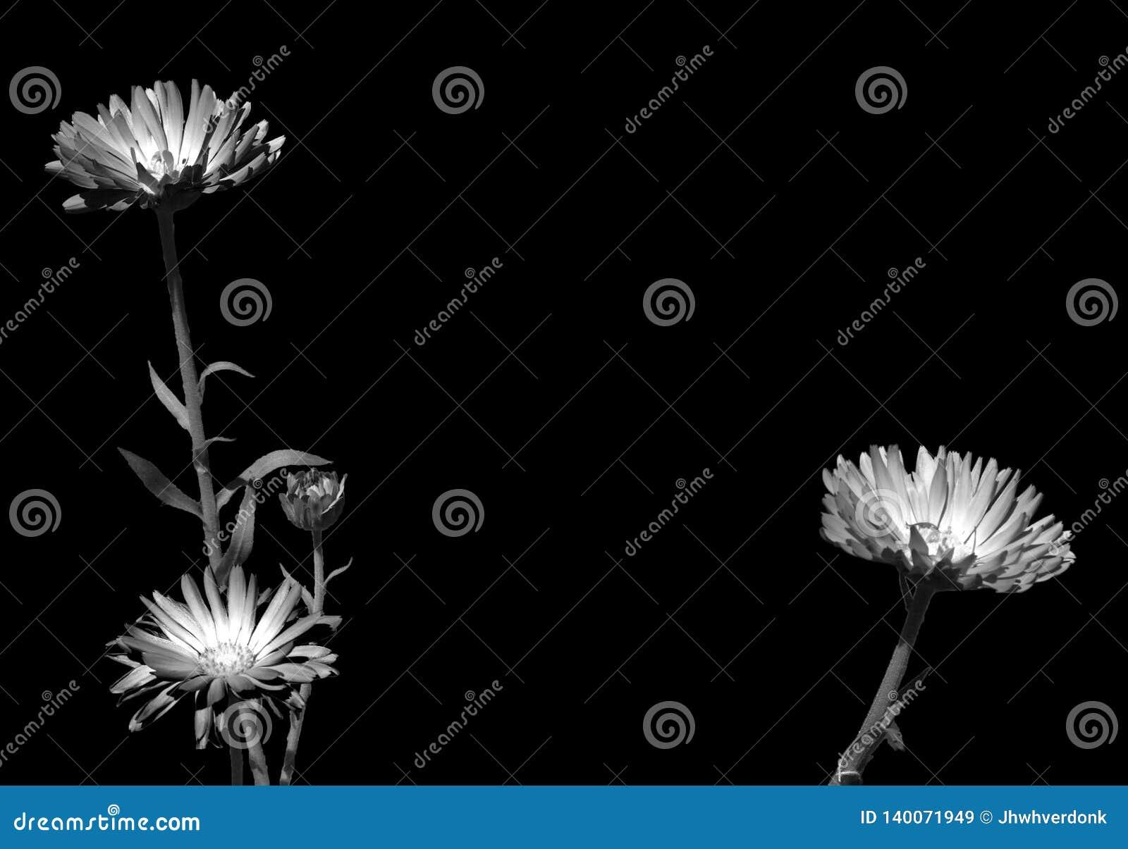 Svartvitt foto av tre växter och deras stammar, med härliga fluorescerande blommor