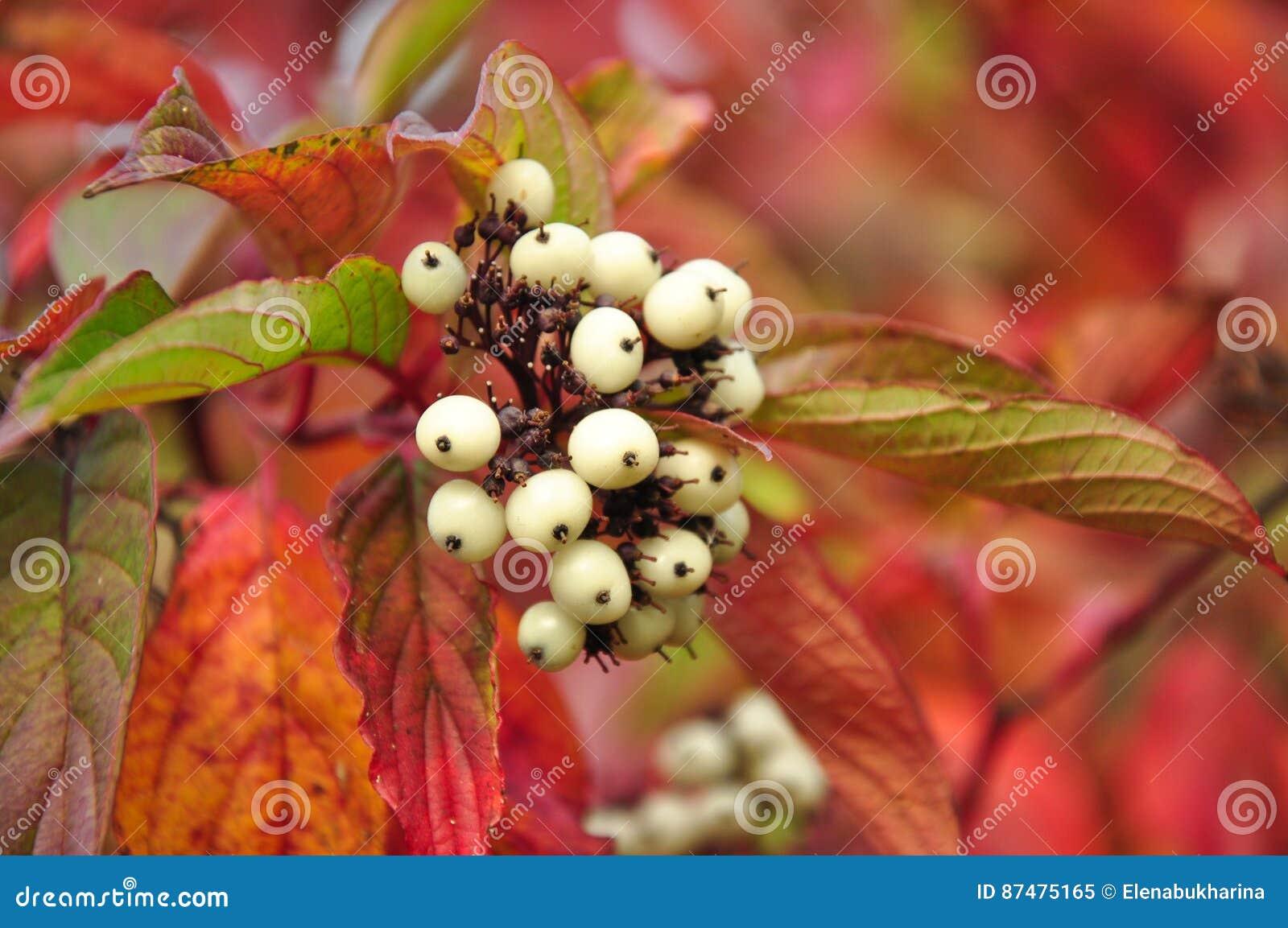 Svidina, кизил, белое telikraniya, ягоды Cornus alba