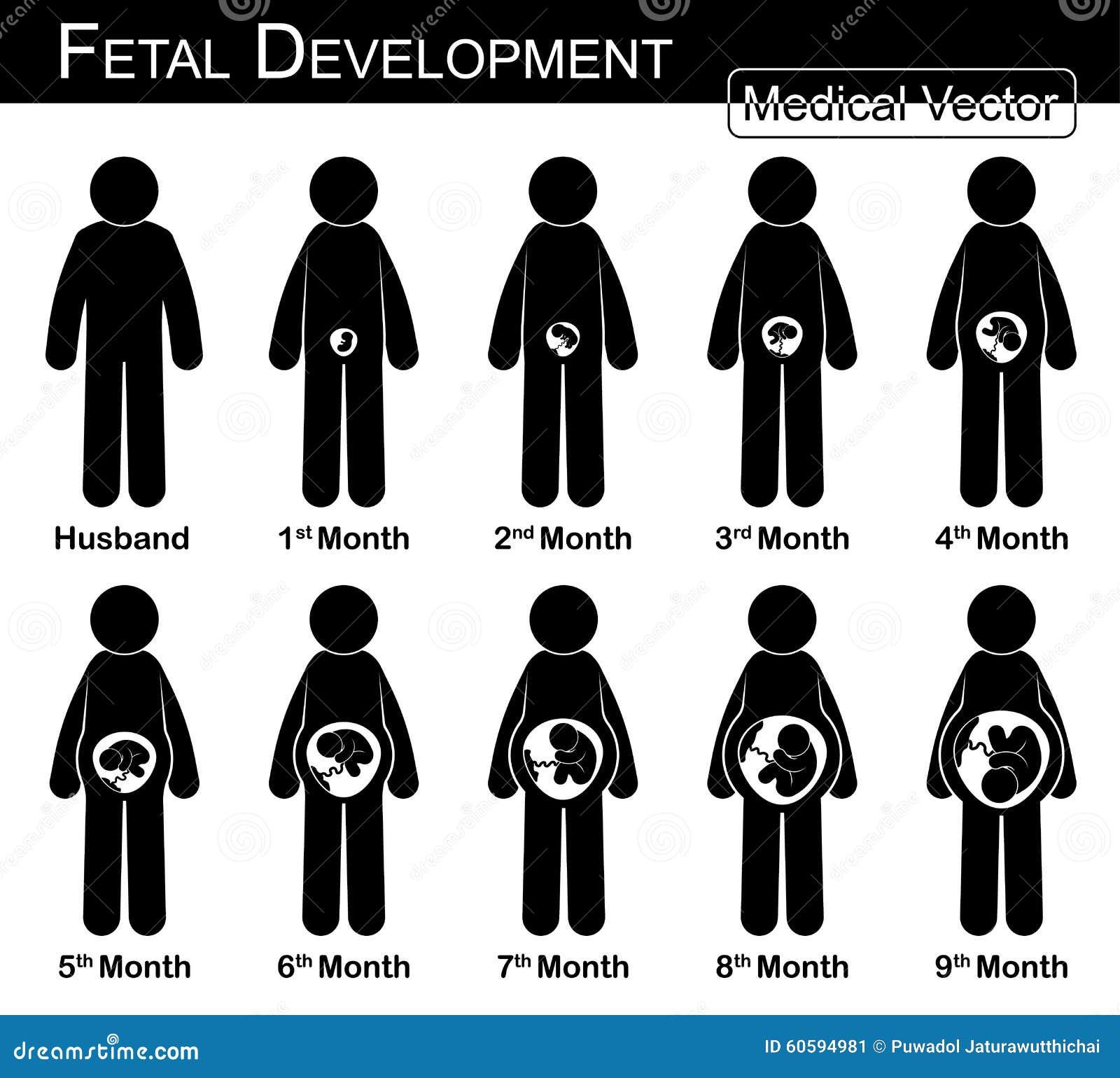 Sviluppo fetale (donna incinta e crescita fetale in utero)