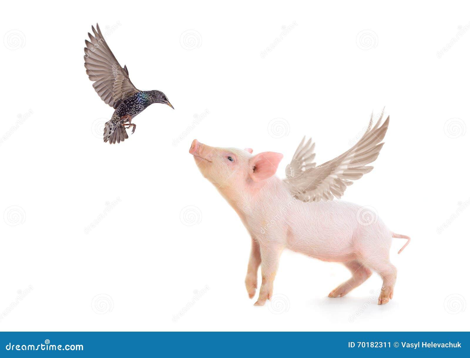 Svin och fågel