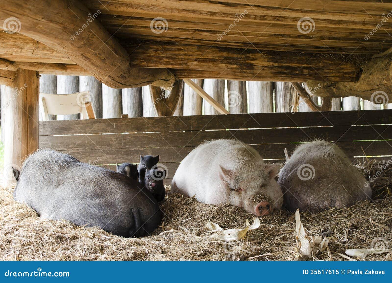 Svin på fri områdelantgård