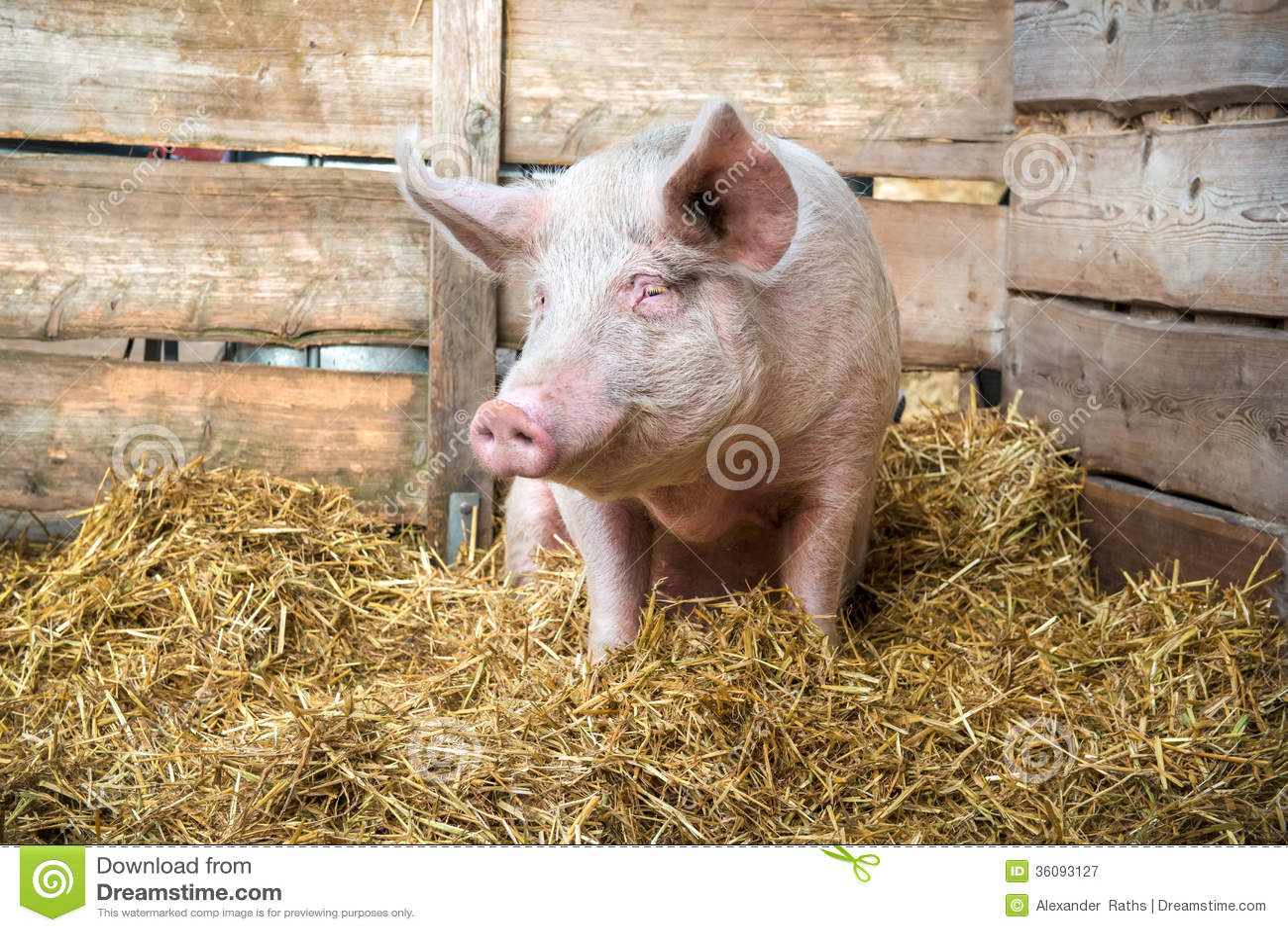 Svin på hö och sugrör